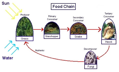 Food Chain Example Of Tropical Rainforest | Food